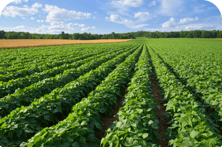 Overhead view of crops